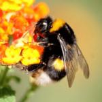Diferencias entre un abejorro y una abeja carpintera